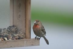 [] House Finch Cameo [] (Wolverine09J ~ 1.8 Million Views) Tags: housefinch passerine songbird birdfeeder closeup northamerican nonnativespecies summertime perching