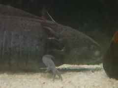 7/14/19 - Akron Zoo: Axolotl (mavra_chang) Tags: animals salamanders molesalamanders axolotls
