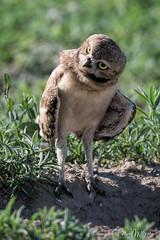 _9HB8347 (Hilary Bralove) Tags: nikon owl owls burrowingowl burrowingowls bird nature birds colorado wildlife birdsofprey coloradobirds coloradowildlife owlet