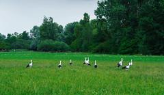 10 Störche (KaAuenwasser) Tags: storch störche vögel vogel tier tiere feld wiese natur sammeln versammeln wild baum bäume grün landschaft sommer juli 2019