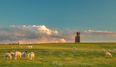Stealing Sheep (Christine down south) Tags: hortontower dorset folly rural farmland sheep hill tower observatory