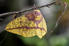 Imperial Moth (kerstynp) Tags: imperialmoth moth lepidoptera wings yellow pink hairs beautiful insect twig nature summer outside