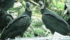 Vultures of Florida. (FloridaGuy1055) Tags: vulture floridabirds florida wildlife naturelovers nature