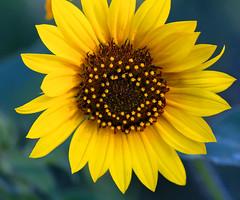 Super Sunny (TPorter2006) Tags: tporter2006 texas summer sunflower flower july 2019 plano arborhillsnaturepreserve