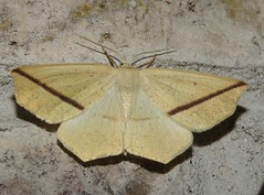 Yellow Slant-line moth (Bug Eric) Tags: animals wildlife nature outdoors insects bugs moths geometers geometridae lepidoptera wisconsin inchwormmoths usa yellowslantline tetraciscrocallata littleprairie northamerica june212019