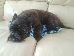 0710191616 (lawatha) Tags: bailey dog 4 legged family cairnterrier cairn terrier
