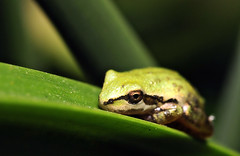 Green on green (TJ Gehling) Tags: amphibian frog chorusfrog treefrog pacificchorusfrog pacifictreefrog pseudacris pseudacrisregilla pond canyontrailpark elcerrito