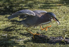 Back with the catch (woodwindfarm) Tags: green heron fish action