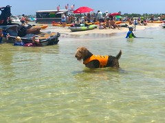 Mocha at The Sandbar (miamism) Tags: hauloversandbar miamifun saltlife miamiboatlife miamiboating sandbar mocha airedale airedaleterrier