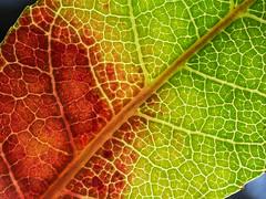 Leaf pattern (LSydney) Tags: macromondays patternsinnature leaf macro