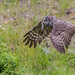 Special Delivery (Great Grey Owl) (The Owl Man) Tags: