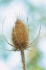 bur (annapolis_rose) Tags: bur burr plant