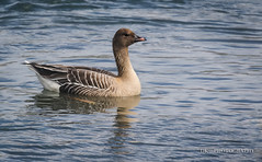 IMG_8355 (dknight429) Tags: nature wildlife bird avain shorebird waterfowl goose duck pinkfooted water iceland