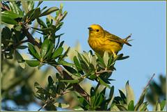 Yellow Warbler 8673 (maguire33@verizon.net) Tags: chinocreekwetlands setophagapetechia yellowwarbler bird wetlands wildlife chino california unitedstatesofamerica