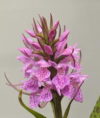 Dactylorhiza praetermissa (Todd Boland) Tags: orchids orchidaceae dactylorhiza