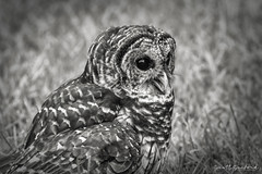 OwlWild.80D.20190714_17-Edit (Scott Sanford Photography) Tags: nature birds canon eos texas outdoor wildlife naturallight raptor naturalbeauty birdofprey topazlabs 80d ef14xiii ef100400mmf4556lii blackandwhite bw monochrome owl