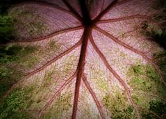 Backlit Caladium at Night (Jack Heald) Tags: caladium backlit night flash color plant hmm pattern macromondays leaf patternsinnature macro micro d750 nikon heald jack 60mm summer 2019 july