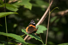 FLW_5831 (flowgraphix) Tags: animals cute nyc ny bronx bronxzoo zoo butterfly orange