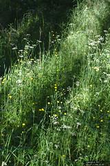 _mg_3323_2019Jul14 (donaldm314) Tags: things battlecreekcypresshills shadow darktable cypresshills grass flowers