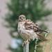 Buse À Queue Rousse / Red-tailed Hawk (ALLAN .JR) Tags: buseàqueuerousse redtailedhawk oiseaudeproie rapace bird of prey nature wildlife nikon centre écologique fernandseguin