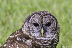 OwlWild.80D.20190714_13-Edit (Scott Sanford Photography) Tags: 80d birdofprey canon ef14xiii ef100400mmf4556lii eos naturalbeauty naturallight nature outdoor raptor texas topazlabs wildlife birds owl