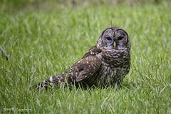 OwlWild.80D.20190714_8-Edit (Scott Sanford Photography) Tags: 80d birdofprey canon ef14xiii ef100400mmf4556lii eos naturalbeauty naturallight nature outdoor raptor texas topazlabs wildlife birds owl