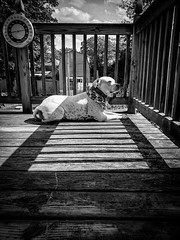 Summer time fun (erellsworth) Tags: americanbulldog bulldog dog blackandwhite bnw bw summer outside pets
