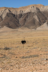 Fifty Miles Of Elbow Room (gecko47) Tags: animal bird ostrich commonostrich struthiocamelus namibia swafrica flightless grassland plain hills alone nearsolitaire