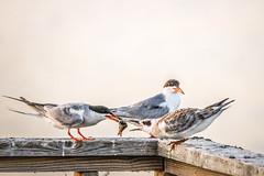 Dinner time in Richard W.DeKorte park (Yuri Dedulin) Tags: nature nj newjersey observation outdoor park recreational richardwdekorte statepark wildlife yuridedulin 2019 birdwatching birds meals