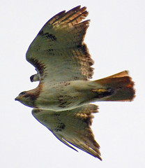 Looks like Kingbird is riding piggyback on the Red-tailed Hawk (ctberney) Tags: easternkingbird redtailedhawk flying birds chasing enemies territorial nature ontario canada