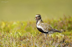 Heiðlóa - european golden plover - Pluvialis apricaria (Mikael Sigurðsson) Tags: manfrotto mikaelsigurðsson amazing nikon nikkor nature north nice national bird birding beautiful birds fave capture closeup colours contrast colour iceland animal animals animalplanet award astonishing fantastic wader summer stunning siglufjörður supershot d500 spring f56 details head headshot ljósmyndun low planet wildlife wild pro outside superb ísland lifer portrait photography photo
