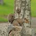 Grey squirrel (madein.w) Tags: wildlife squirrel depthoffield