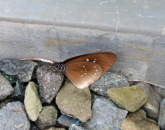 Butterfly, Tegalharja, Middle of Java 29 (Petter Thorden) Tags: indonesia java butterfly
