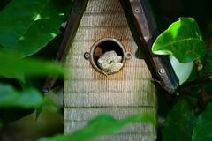 Gray Tree Frog by Jackie B. Elmore 7-14-2019 Lincoln Co. KY (jackiebelmore) Tags: hylaversicolor graytreefrog lincolnco kentucky nikon850 tamronsp150600f563 jackiebelmore