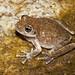 Pseudacris cadaverina (California Tree Frog) (Robyn Waayers) Tags: pseudacriscadaverina californiatreefrog robynwaayers