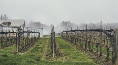 In the Misty Mist (Paul B0udreau) Tags: stcatharines louth vineyards fog rural crop