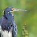 CA3I8479-Tricolored Heron (tfells) Tags: tricoloredheron bird nature wildlife wading greencay florida egrettatricolor