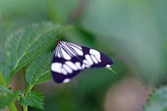 Butterfly, Tegalharja, Middle of Java 40 (Petter Thorden) Tags: indonesia java butterfly