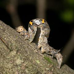 (jciv) Tags: texas macro insect moth caterpillar file:name=dsc04934