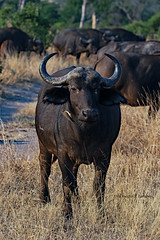 Sabi Sands, South Africa June 18, 2019 (Doug Lambert) Tags: capebuffalo oxpecker mammal animal nature wildlfie safari big5 blackdeath sabisabibushlodge sabisands southafrica greaterkrugernationalpark canon7dmarkii canon100400ii