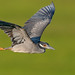 Yellow-crowned Night heron (Photosequence) Tags: