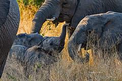 Sabi Sands, South Africa June 16, 2019 (Doug Lambert) Tags: baby trunk africanbushelephant savannahelephant herd winter animal mammal safari nature wildlife sabisabibushlodge sabisands southafrica greaterkrugernationalpark canon7dmarkii canon100400ii