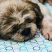 Sleeping shih tzu dog on bed