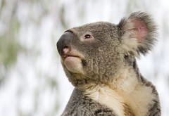 Noble Koala (San Diego Shooter) Tags: koala koalas sandiego sandiegozoo zoo bokeh portrait animal animals