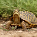 Ornate Box Turtle (Matt Buckingham) Tags:
