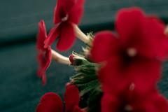Macro flor (diegoacallebeltran1) Tags: naturaleza nature day dia nikkor1855mm nikond3500 nikkor nikon nice beautiful flor rosa red reflex dslr lightroom adobe macro fotografía
