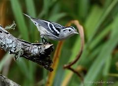 Black and White Warbler (Mary Sonis) Tags: warbler bird migration carolina blackwhite wildlife