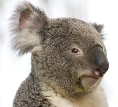 Koala portrait (San Diego Shooter) Tags: koala koalas sandiego sandiegozoo zoo bokeh portrait animal animals