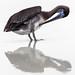 Brown Pelican with reflection - preening. #4  Puerto Villamil, Isla Isabela, Galapagos Islands, Equador (LKungJr) Tags: pelican galapagos equador nature aves bird seabird reflection
