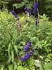 Delphiniums In Full Bloom Get Heavy (amyboemig) Tags: garden summer july flowers flower delphinium foxglove